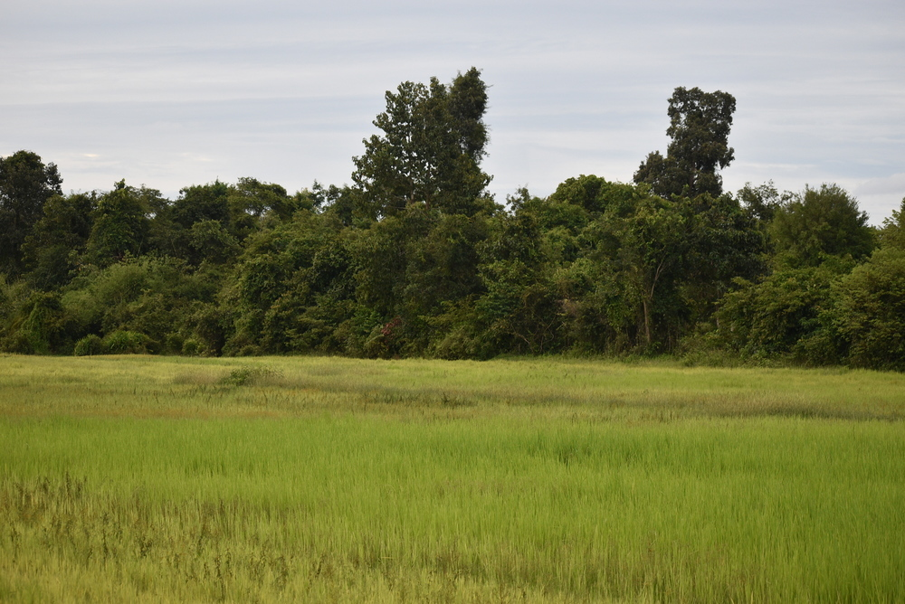 Rice paddies just outside the jungle.