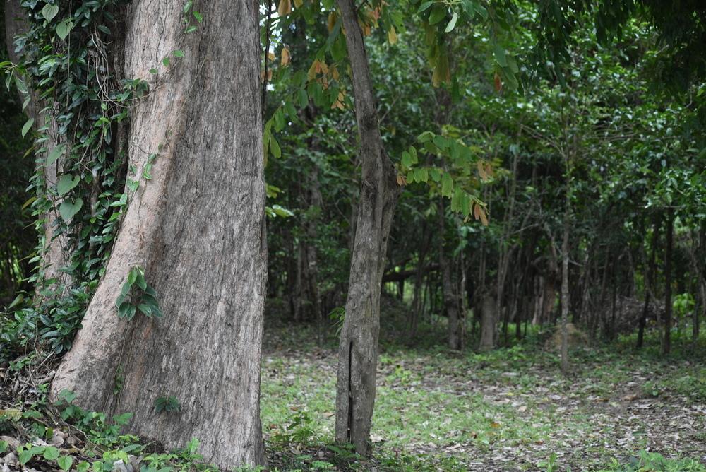 Dense jungle beside Tamon Temple.