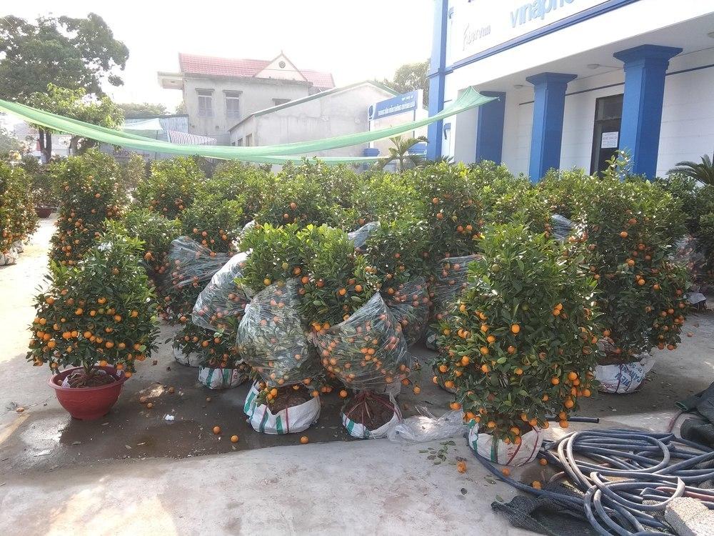 Orange trees acting like a Christmas tree