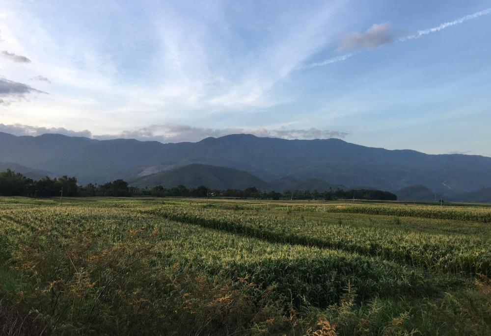 Corn fields in Quang Nam