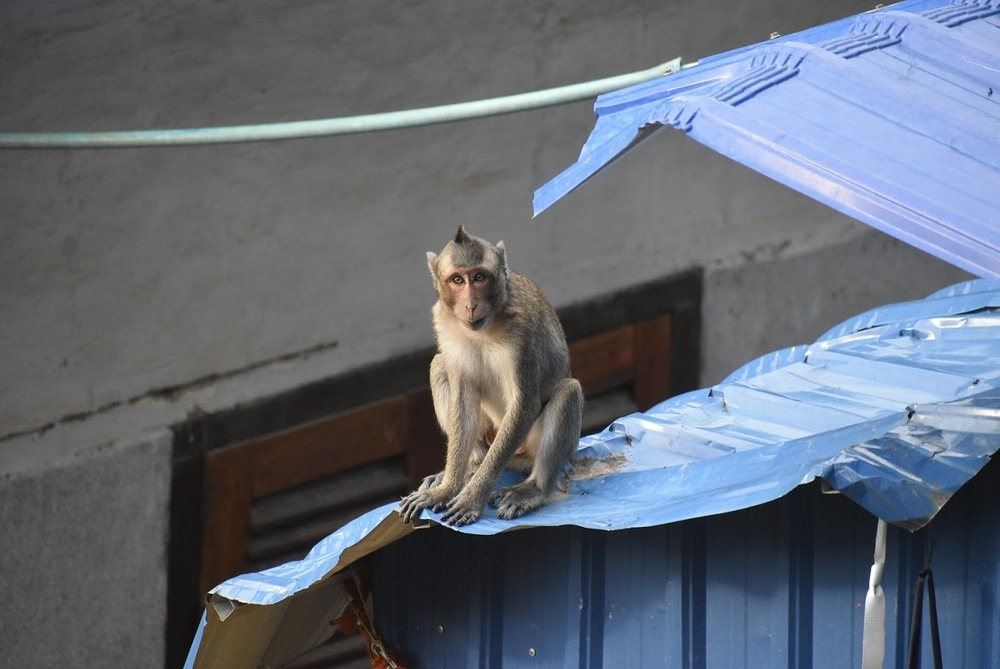 This macaque is up to no good!